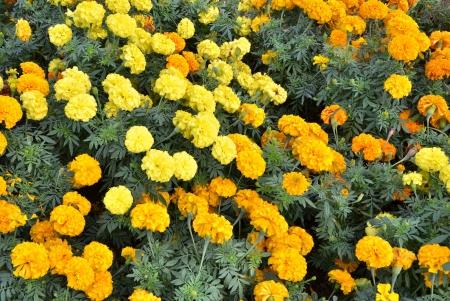 garden marigold: Yellow Flower in garden, Marigold