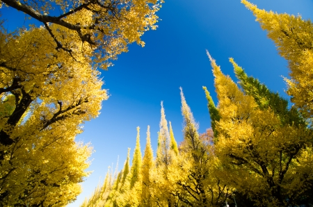The ginkgo trees against blue sky photo