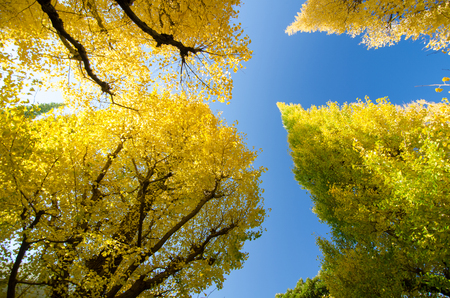 The ginkgo trees against blue sky, worm eye view photo