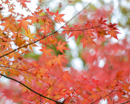Colored Japanese maple leaf  Stock Photo - 24696861
