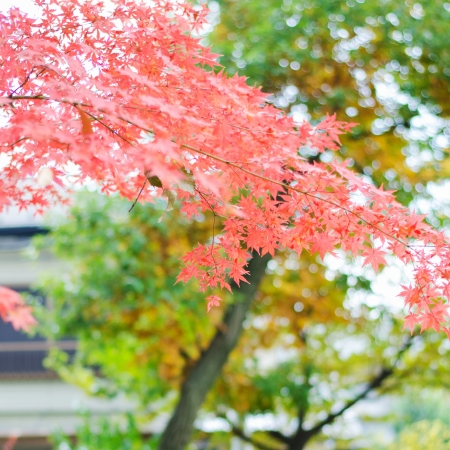 Japanese maple leaf in autumn season Stock Photo - 24813100