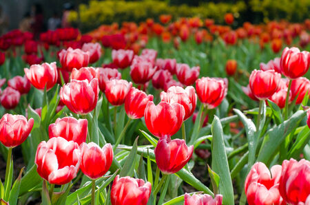 Group of red tulips in the park  Spring landscape   photo