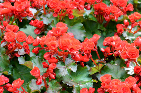 beautiful flowers big begonias  photo