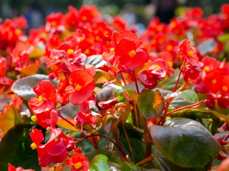 Beautiful red african Tulip tree  Spathodea campanulata   photo