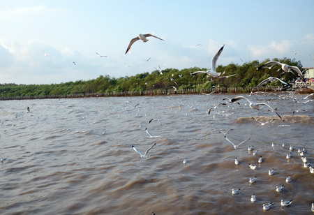 white headed: Seagull is a bird migration to Bangpu, samuthprakharn, Thailand