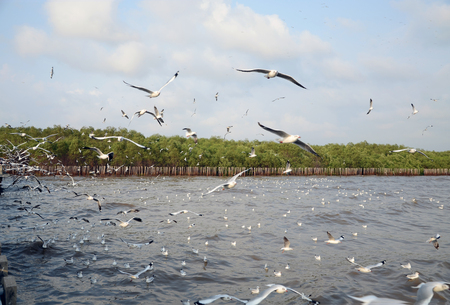 Seagull is a bird migration to Bangpu, samuthprakharn, Thailand photo