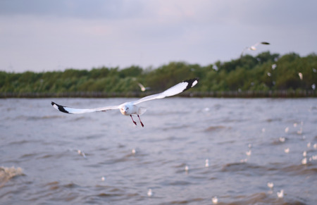 flying seagulls in action at Bangpu Thailand  photo
