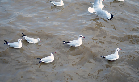 Seagull is a bird migration to Bangpoo, samuthprakharn, Thailand photo