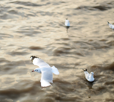 flying seagulls in action at Bangpoo Thailand  photo