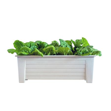Homemade hydroponic vegetables growing in pot isolated on white background Stock Photo