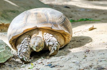 elongated: Elongated Tortoise (Indotestudo elongata)