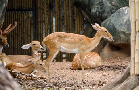 siamensis: Elds Deer(Rucervus eldii siamensis) in zoo Stock Photo