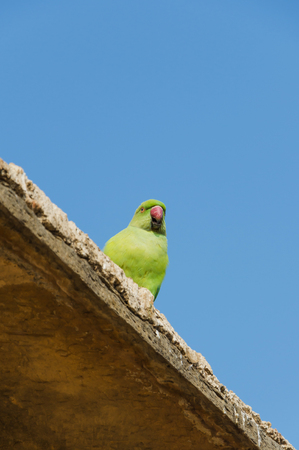 mccaw: Green parrot bird with blue sky Stock Photo
