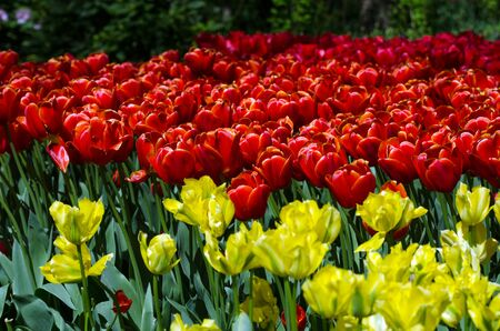 lisse: Colorful tulips in Keukenhof, Lisse, Netherlands