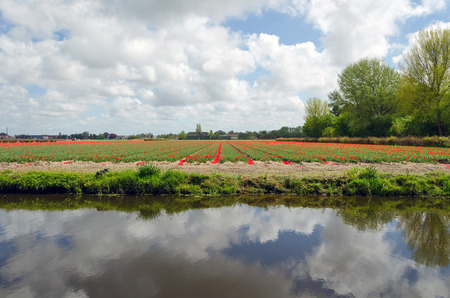 lisse: Dutch bulb field in Lisse, The Netherlands Stock Photo