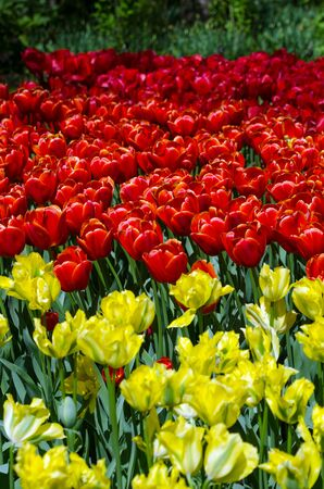 lisse: Red and yellow tulips in Keukenhof, Lisse, Netherlands Stockfoto