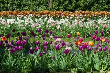 mickey: Colorful tulip flowers in Keukenhof Garden, Netherlands Stock Photo