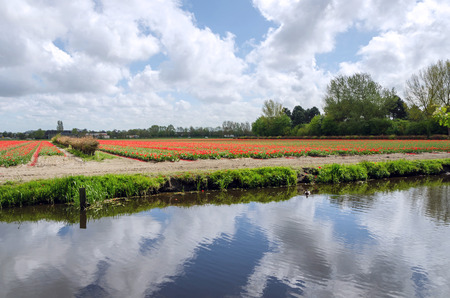 lisse: Dutch bulb field near the river in Lisse, The Netherlands