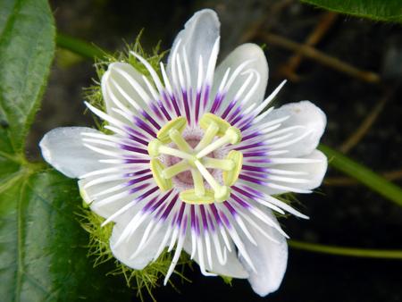 passiflora: Passiflora foetida flower Stock Photo