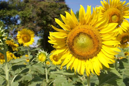 helianthus: Sunflowers in sunny day