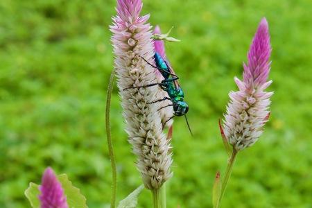 Emerald jewel wasp on Celosia argentea selective focus