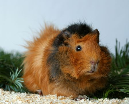 Guinea pig, abyssinian