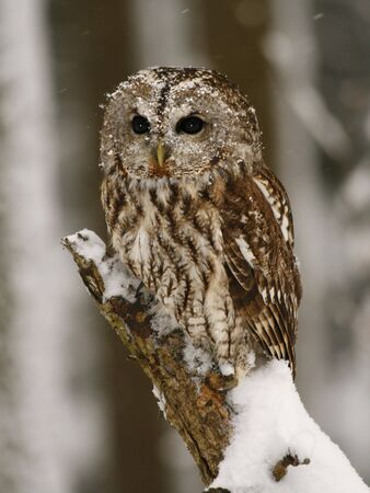 Tawny owl in the forest while snowing