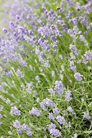 lavender flowers: Lavender flowers background Stock Photo