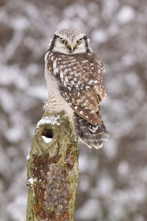 Northern Hawk owl  Surnia ulula sitting its back towards you   Stock Photo