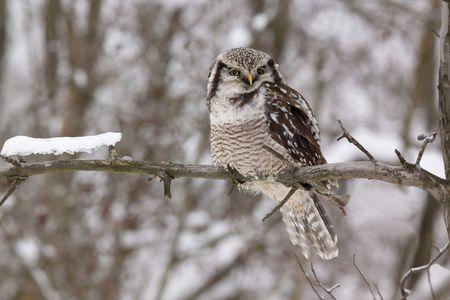 Hawk owl Surnia ulula sitting on the branch Stock Photo