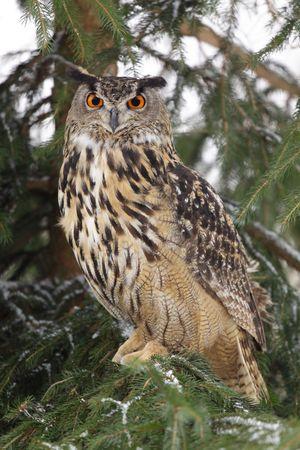 Beautiful Eagel owl Bubo Bubo sitting on trunk Stock Photo