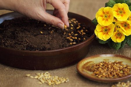 How to grow spring crop for Easter decoration - 2 step - sowing seeds photo