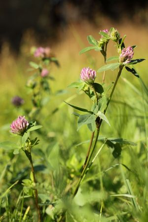 Red clover Trifolium pratense in the meadow photo