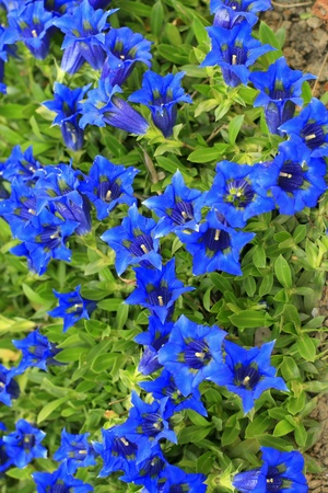 Blooming Stemless gentian Gentiana acaulis Stock Photo