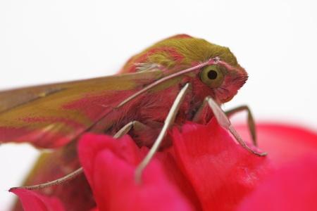 Insect Hawk moth on red  flower /Deilephila elpenor/ Stock Photo - 10043676