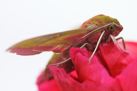 Insect Hawk moth on red  flower Deilephila elpenor