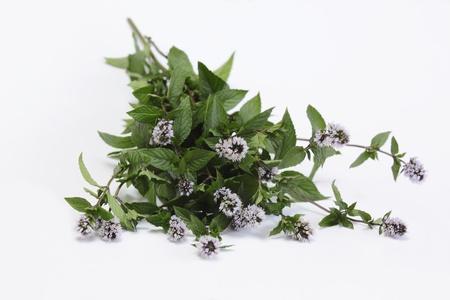 mentha: Blooming mint Mentha aquatica