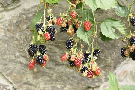 stoned: Blackberries  at stoned background