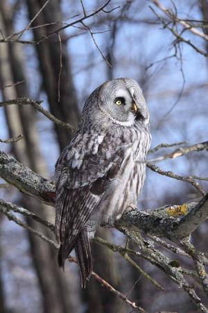 Great Grey Owl or Lapland Owl lat  Strix nebulosa photo