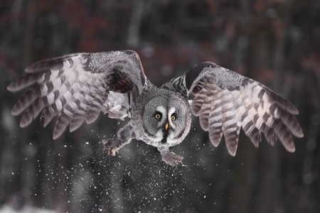 prey: Great Grey Owl or Lapland Owl lat. Strix nebulosa Stock Photo