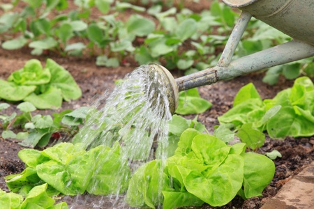 Growing lettuce and radish in the garden