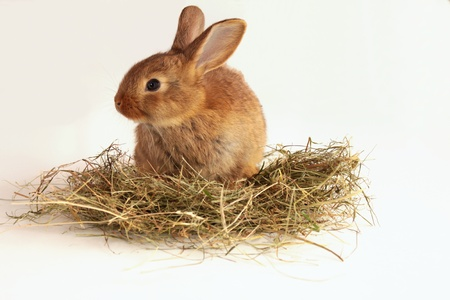 Bunny rabbit on the hay photo