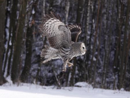 Great Grey Owl oder Lappland Owl lat. Strix nebulosa