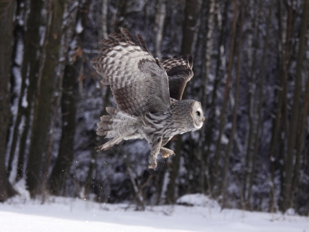 white owl: Great Grey Owl or Lapland Owl lat. Strix nebulosa Stock Photo