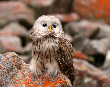 Ural owl  Strix uralensis  nocturnal owl living in Europe and Asia