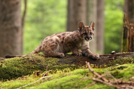 Puma concolor called mountain lion in forest photo