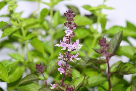 View of blooming basil against white background Stock Photo