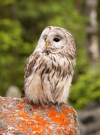 Strix uralensis, nocturnal owl living in Europe and Asia photo