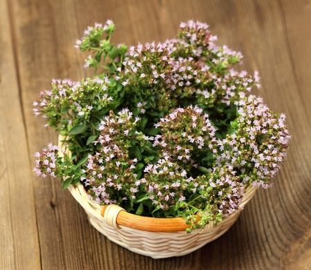 vulgare: Basket of aromatic herb, lat. Origanum vulgare Stock Photo