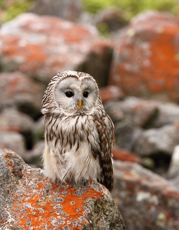 nocturnal: Strix uralensis, nocturnal owl